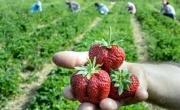 3 truskawki na pierwszym planie, w tle osoby zbierające owoce